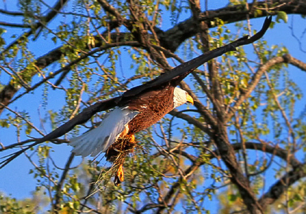 "According to Rebekah Penny, park interpreter, ""We have always been lucky seeing eagles on our tours; some mature, some immature, and we always see other beautiful wildlife as well. No one will ever be disappointed on our eagle tours."""